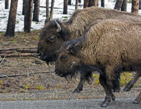 Buffalo's on the road Stock Image