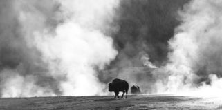 Buffalo Sauna. Bison keep warm by roaming through the steam from the thermal features in Yellowstone Park stock images