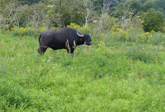 Buffalo sauvage Image stock