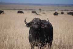 Buffalo in savanna Stock Photography