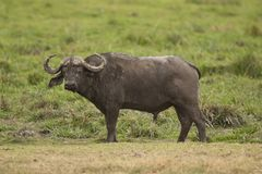 Buffalo in the Savannah Royalty Free Stock Photo
