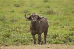 Buffalo in the Savannah Royalty Free Stock Photography