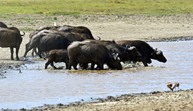 Buffalo in the savannah Stock Images