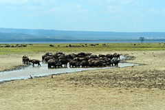 Buffalo in the savannah Royalty Free Stock Images