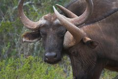 Buffalo Scratch. Ing its head on another buffalo Stock Images