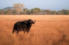 Buffalo selvaggia Fotografia Stock