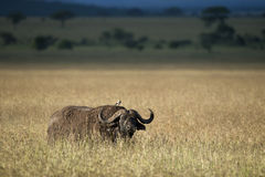 Buffalo at the Serengeti National Park Stock Photo