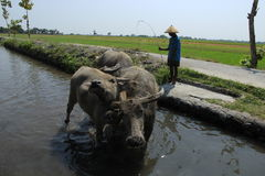 Buffalo. The buffalo shepherded in the area of riverbanks sawit, boyolali, central java, indonesia Royalty Free Stock Images