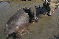 Buffalo. The buffalo shepherded in the area of riverbanks sawit, boyolali, central java, indonesia Stock Image