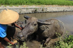 Buffalo. The buffalo shepherded in the area of riverbanks sawit, boyolali, central java, indonesia Royalty Free Stock Photography