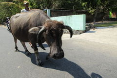 Buffalo. The buffalo shepherded in the area of riverbanks sawit, boyolali, central java, indonesia Stock Images