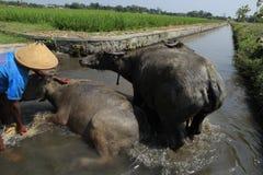 Buffalo Royalty Free Stock Photography