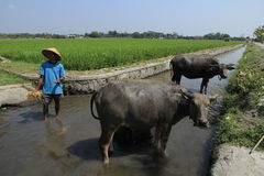 Buffalo. The buffalo shepherded in the area of riverbanks sawit, boyolali, central java, indonesia Stock Photos