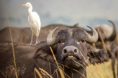 A buffalo shows us his teeth as an egret looks on stock photography