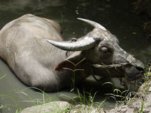 Buffalo. A buffalo sie at the pond in nature park Stock Image