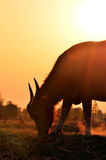Buffalo silhouette with sunlight background. Royalty Free Stock Images