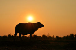 Buffalo silhouette with sunlight background. Buffalo silhouette with light background royalty free stock image