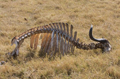 Buffalo Skeleton. A skeleton of an African water buffalo (Syncerus Caffer) in the wild Okavango Delta in Botswana, Africa Royalty Free Stock Photography