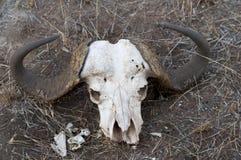 Buffalo Skull Royalty Free Stock Image