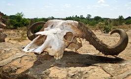 Buffalo skull Stock Photo