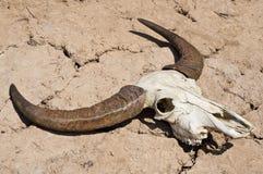 Buffalo skull. Stock Photos