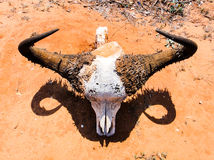 Buffalo skull. In african savannah desert Royalty Free Stock Image