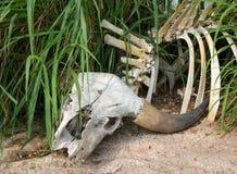 Buffalo skull in grass. Closeup royalty free stock photo