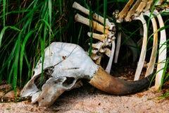 Buffalo skull in grass. Closeup royalty free stock photography