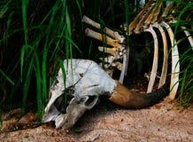 Buffalo skull in grass. Closeup stock photo