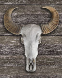 Buffalo skull with horns Royalty Free Stock Image