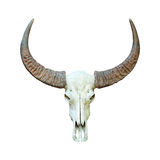 Buffalo skull isolated. Royalty Free Stock Images