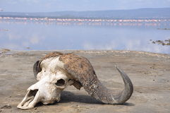 Buffalo skull on lake shore Royalty Free Stock Photography