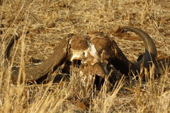 Buffalo Skull. Left after lion kill Royalty Free Stock Photo