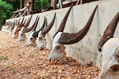 Buffalo skull Stock Photos