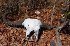 Buffalo skull in Okavango delta landscape Royalty Free Stock Photography