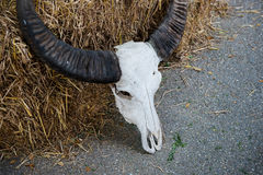 Buffalo skull Royalty Free Stock Images