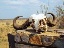 Buffalo skull stock photography