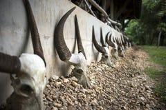 Buffalo skulls . Royalty Free Stock Image