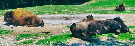 Buffalo sleeping on a dirt ground usa animal wild royalty free stock photography