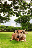 A buffalo sleeping on the grass with building background Royalty Free Stock Photography