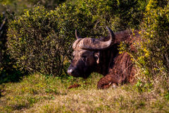 Buffalo Almost Sleeping. Image shot at The Addo Elephant National Park royalty free stock image