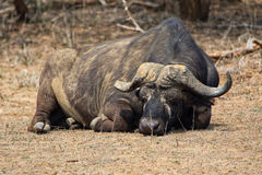 Buffalo sleeping at kruger national park Stock Photography