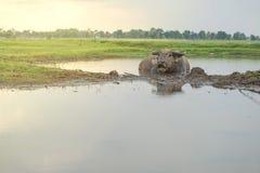 Buffalo sleeping in water Stock Photography