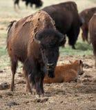 Buffalo Smiling. Buffalo appearing Smiling Stock Image