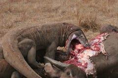 buffalo smoki to dziki komodo Zdjęcie Royalty Free