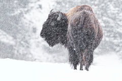 Buffalo in snow Royalty Free Stock Image