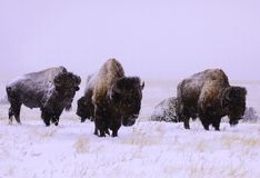 Buffalo in the snow Stock Photography