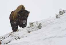 Buffalo in the snow on a hill. A bison on top of a hill in snowy yellowstone park royalty free stock photography