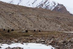 Buffalo of the snow mountain. Buffalo of the snow mountain in Himalayan mountain range, Leh Ladakh, India Stock Photos