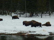 Buffalo. In the snow in Yellowstone National Park Royalty Free Stock Photos